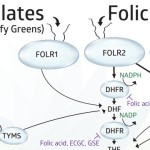 folate-cycle_860